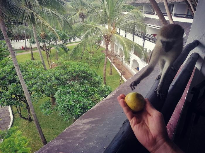 Jak przygotować się do podróży zagranicznej. Małpki swobodnie biegające po hotelu.